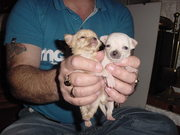 chihuahua puppies for sale tiny boys